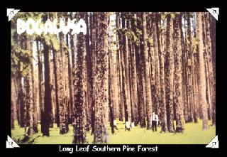 Long Leaf Southern Pine Forest