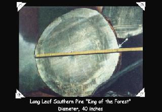 Long Leaf Southern Pine 'King of the Forest' Diameter, 40 inches